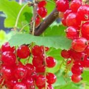 Fristende røde og økologiske rips
