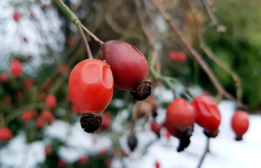 Nyperose i desemberhagen