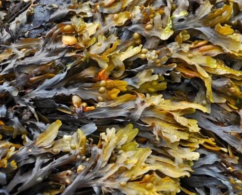 Tang og tare, naturlig gjødsel og jordforbedrer