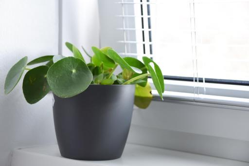 meer groen in huis met planten die tegen een stootje kunnen pannenkoekplant