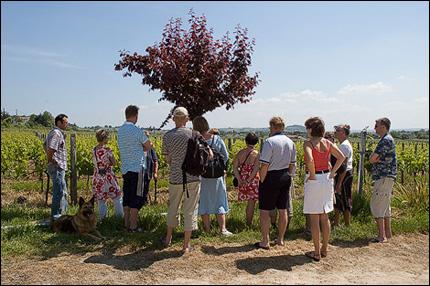 Guidad tur på Cheval Blanc - vinstockarna förevisas