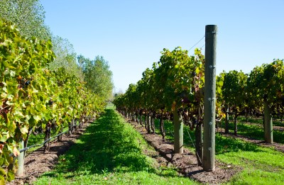Rows of vines in vineyard