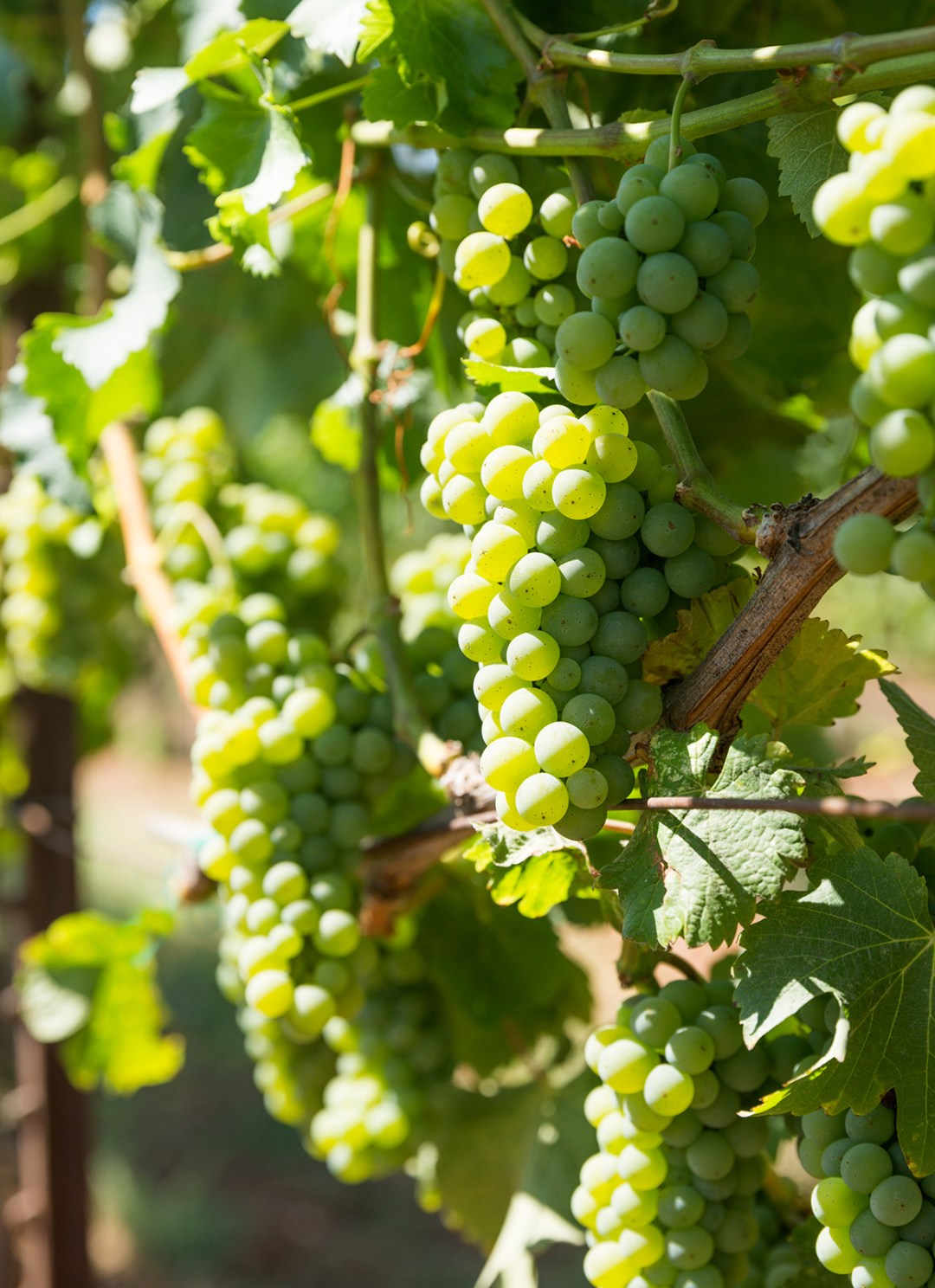 Green grapes on the vine in the sun