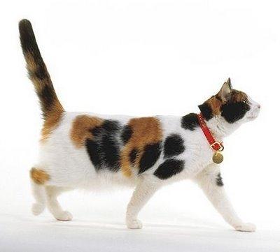 Unduh 97+  Gambar Kucing Anggora 3 Warna Lucu Gratis