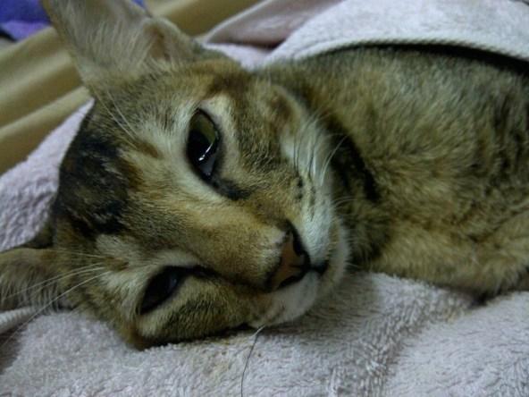 Gejala distemper pada kucing dan cara mengobatinya