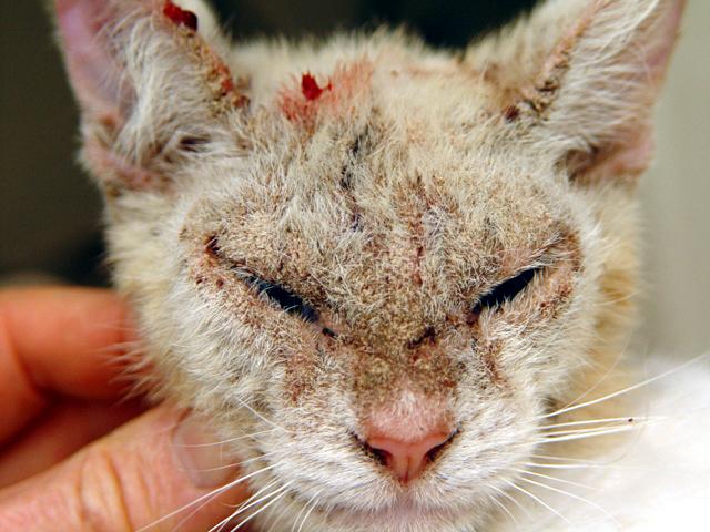 Cara Mencegah Dan Mengobati Penyakit Kulit Scabies Pada Kucing Dan Anjing Tanya Dokter Hewan