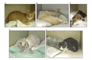 Postur tubuh kucing yang mengalami sakit