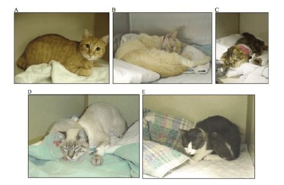 Postur tubuh kucing yang mengalami kondisi sakit (B-E), A (kondisi normal)