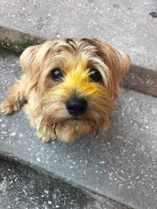 Max, Tanya Foster's norfolk terrier.