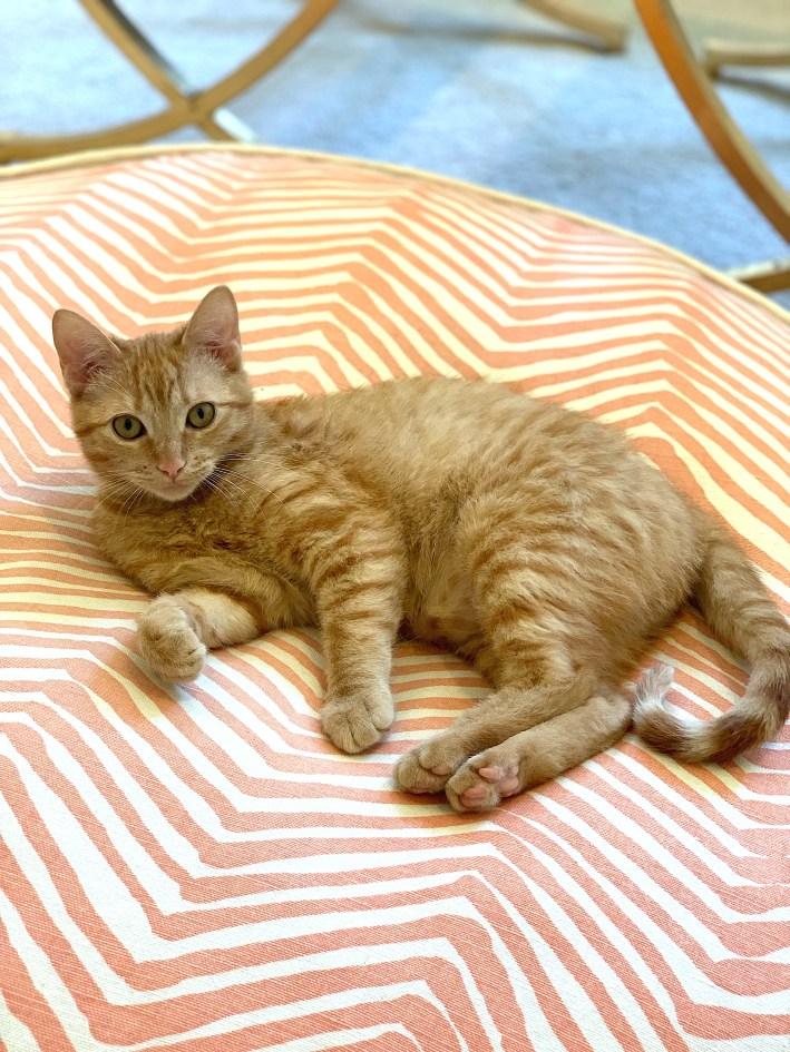 The joy of being a cat owner. Female orange tabby kitten