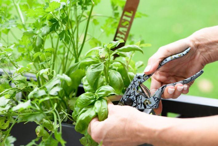 Tanya Foster clipping fresh basil from herb garden
