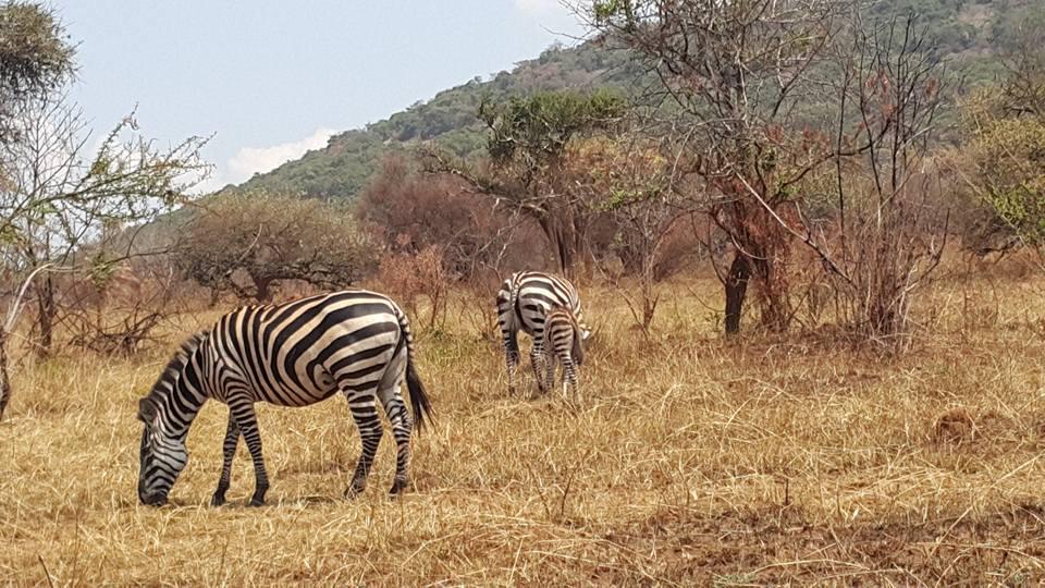 Disappointing Akagera National Park, Rwanda