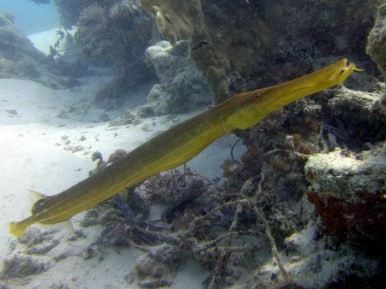 Trumpetfish. Copyright Matt Kieffer.