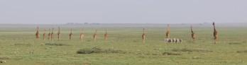 Giraffe and Zebra on the plain