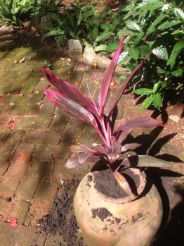 Cordiline Fruticosa