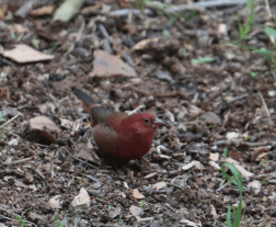 Firefinch (Red)