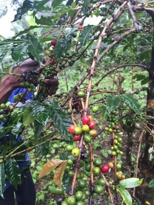 Day 28 - Coffee Plantation on Kilamanjaro