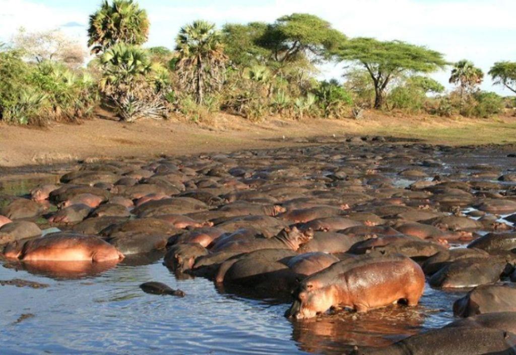Katavi Hippos