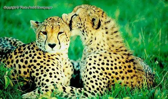 Guépards en Tanzanie