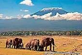 Eléphants devant le Kilimandjaro