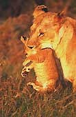 Lionne en Tanzanie