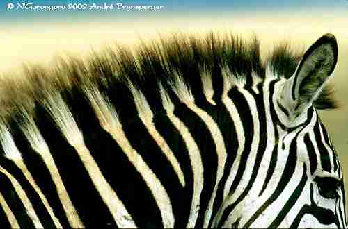 Zèbre Serengeti Tanzanie