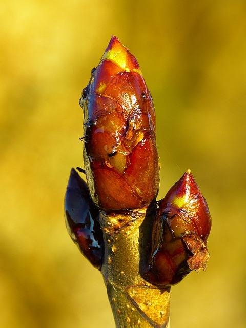 Bachblüten stellen sich vor – heute: Chestnut Bud