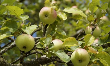 Was tun mit den Frühäpfeln?