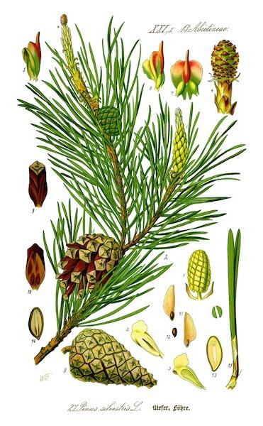 Bachblüten stellen sich vor – Heute: Pine