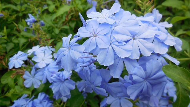 Bachblüten stellen sich vor – Heute: Cerato