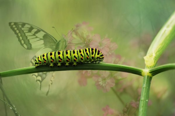 Caterpillar Butterfly