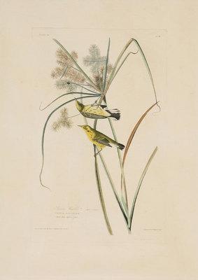"John James Audubon,Prairie Warblers, Original print from the First Edition of ""Birds of America"" c. 1840, 25"" x 18"""
