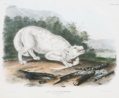 "John James Audubon, White Wolf, Original Print from ""Mammals of North America"" 21"" x 25"""