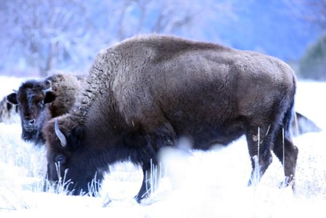 pubelo bison