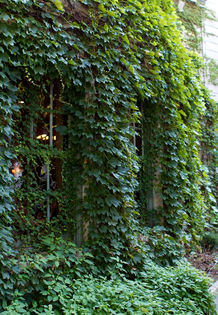 Green Ivy plant  Tapan Shah