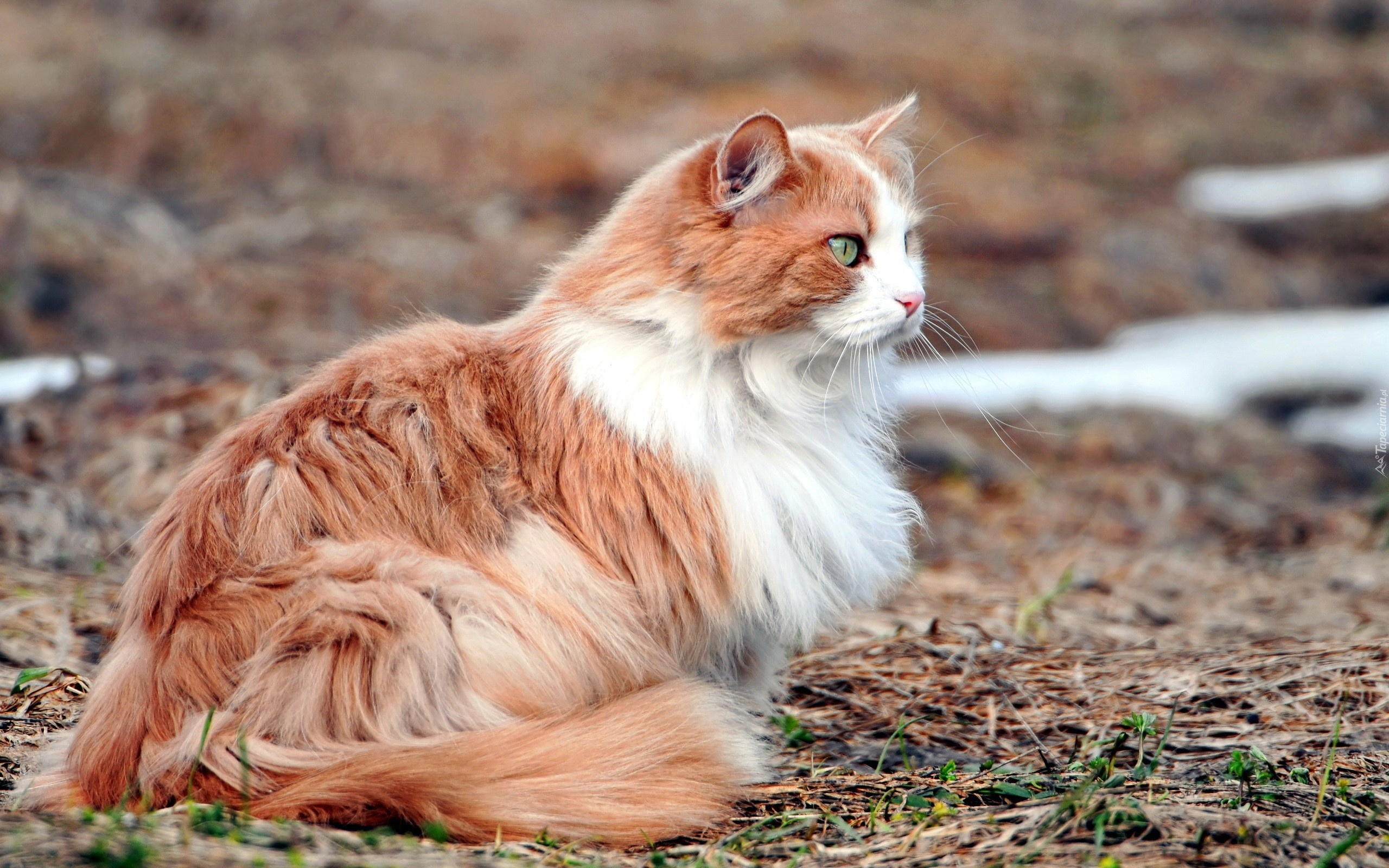 Fall Kitten Wallpaper Ładny Rudo Biały Kot