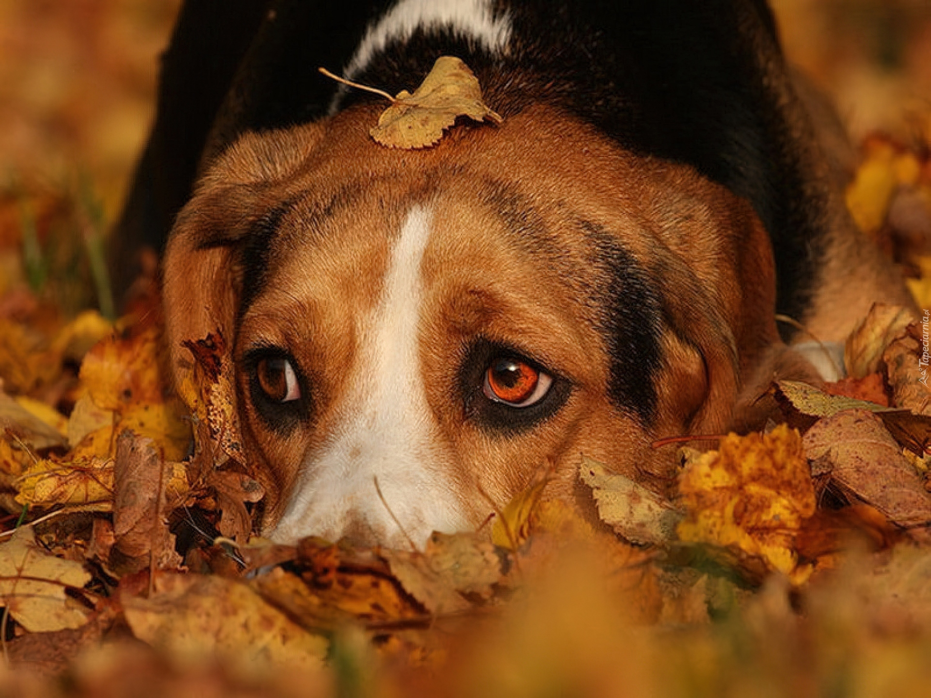 Cute Wallpapers 1080p Beagles Pies Jesienne Liście Beagle