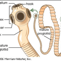 A Well Labelled Diagram Of Microscope 2006 International 4300 Radio Wiring Structure - Tapeworms