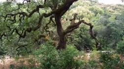 Gnarly, twisted oak tree.