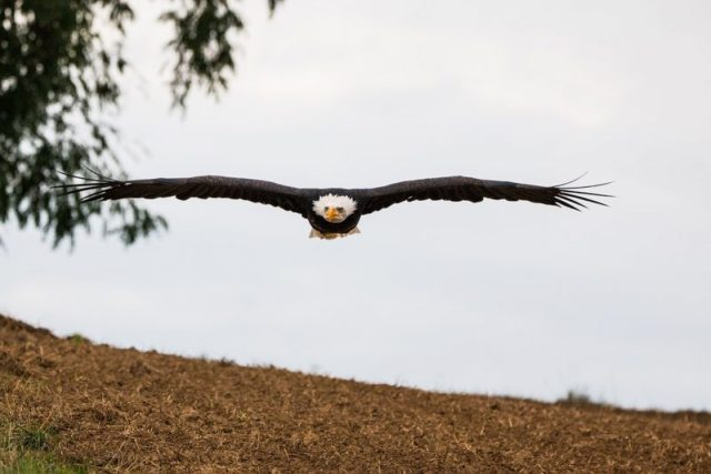 After 13 Bald Eagles Found Dead In Field, Authorities Uncover What Farmer Did