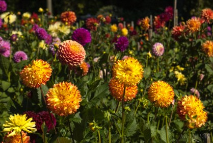Dahlias are in bloom