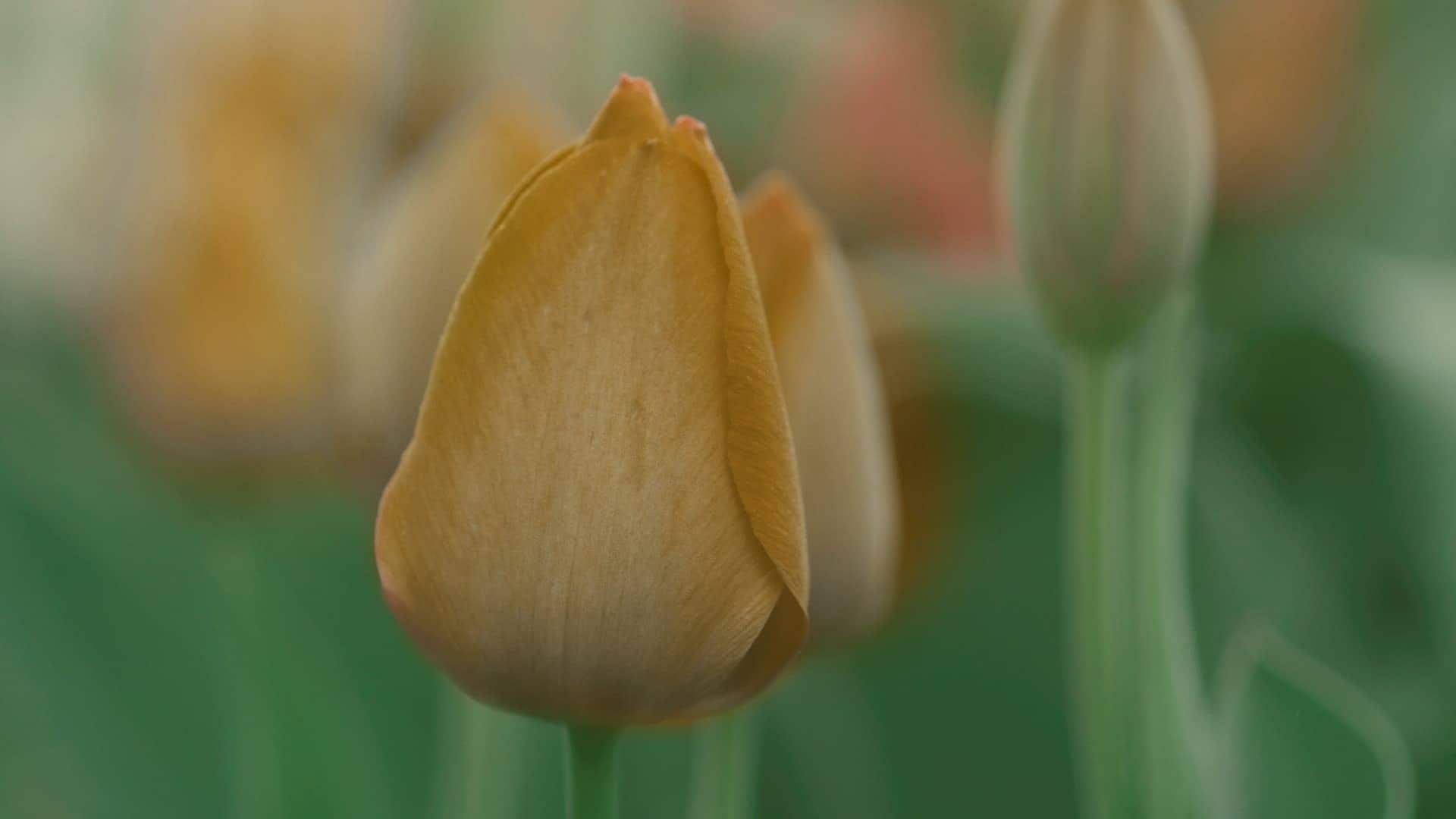 Amsterdam: The Tulip Rush