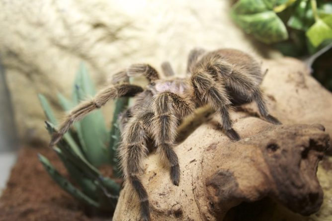 chilean rose hair tarantula pet