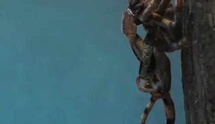 tarantula molting