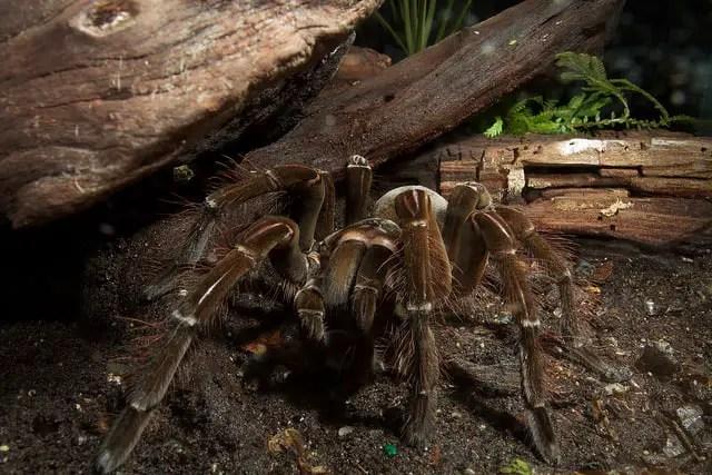 Goliath Bird Eating Tarantula Theraphosa Blondi