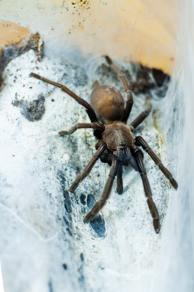 Asian Blue Smokey - Chilobrachys sp. Vietnam Blue - Burma Choclate Brown