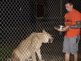 "Evin LoGuidice, handing food through the fence to Nyra, the lion, on Wednesday, Jan. 25, 2017 at Catty Shack Ranch in Jacksonville, Florida. Kurt Lessenthien stated during the nighttime tour that ""One of the most important things to know about the sanctuary is that we are a forever home, and every animal that you see is going to get food, housing, medical care, and whatever it needs for the rest of its life."" Kurt said, ""But this is only possible through donations, we are completely run by donations."""