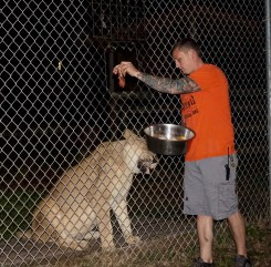 Evin LoGuidice, feeding Nyra, the lion, on Wednesday, Jan. 25, 2017 at Catty Shack Ranch in Jacksonville, Florida. Nyra is 18-years-old, and gave birth to Freddy, who is now 12-years-old and still living in the sanctuary.
