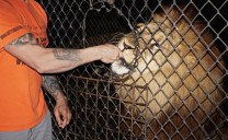 Freddy, a lion at Catty Shack Ranch in Jacksonville, Florida, being fed by Evin LoGiudice on Wednesday, Jan. 25, 2017. Catty Shack Ranch is a 501(c) nonprofit organization that has a variety of large exotic cats, and they offer daytime tours and night feeding tours that educate visitors on the animals.