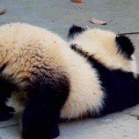 はいはいをしたいけど前に進む方法が分からないパンダの赤ちゃん